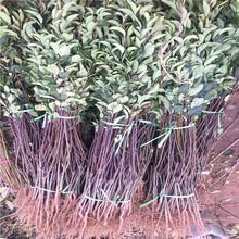 山东三红梨树苗出售价位图片
