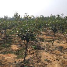 新品种金果梨树苗批发图片