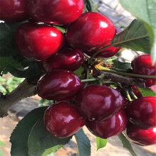 山东3公分樱桃树苗3公分樱桃树苗哪里价格便宜