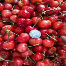 附近哪里有矮化吉塞拉樱桃树苗矮化吉塞拉樱桃树苗价格