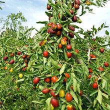 长红枣树苗多少钱一棵长红枣树苗种植基地