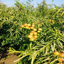 脆枣树苗基地脆枣树苗出售