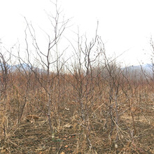 月光枣树苗什么时间成熟月光枣树苗种植基地图片
