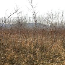 9公分枣树苗出售基地9公分枣树苗栽培技术图片