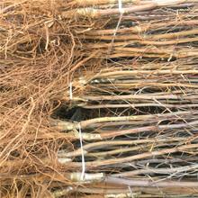 大雪枣树苗供应商大雪枣树苗产地在哪里图片