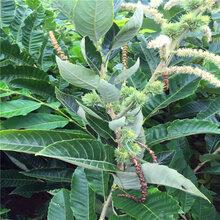 新品种大红袍板栗苗一棵多少钱、大红袍板栗苗品种