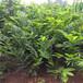 优质三年板栗苗一棵多少钱、三年板栗苗价位