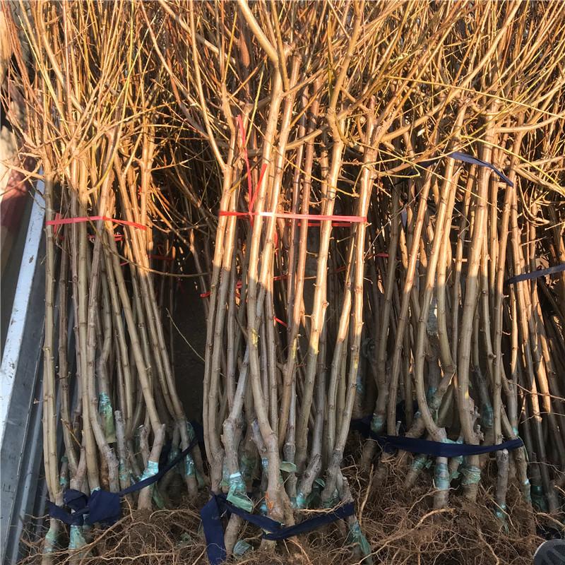 什么地方有卖黑布林李子苗、黑布林李子苗几年结果