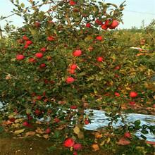 烟富苹果苗多少钱一棵、烟富苹果苗多少钱一株图片