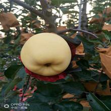 红富士苹果苗多少钱、红富士苹果苗价格多少图片