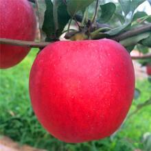 小国光苹果苗批发出售、小国光苹果苗批发哪里便宜图片