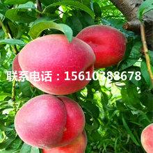 春雪桃树苗一亩地产多少斤、春雪桃树苗批发基地