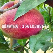 水蜜桃树苗批发、水蜜桃树苗什么价格