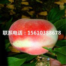山东锦绣桃树苗什么价格