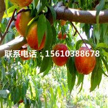 艳红桃树苗简介、艳红桃树苗基地