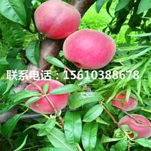 晚熟桃树苗上车价格、晚熟桃树苗附近哪里有图片