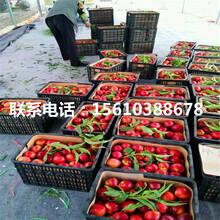 山东永莲蜜桃6号桃树苗销售价格图片