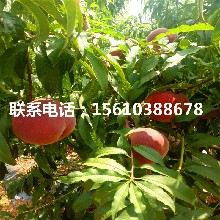 晚桃树苗价格、晚桃树苗多少钱