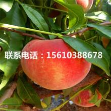 春晓桃树苗什么时间成熟、春晓桃树苗多少钱一棵图片