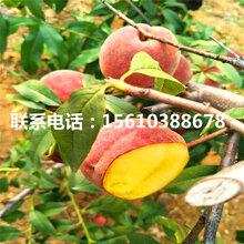春蜜桃树苗多少钱、春蜜桃树苗什么价格
