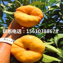 水蜜桃树苗批发、水蜜桃树苗销售基地图片
