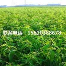 93桃树苗品种介绍、93桃树苗多少钱一棵