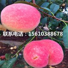 桃树小苗产地在哪里、桃树小苗批发哪里便宜