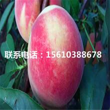 新品种实生桃树苗每日报价图片
