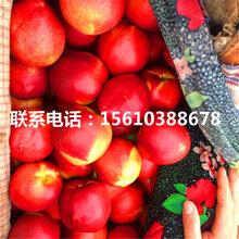 水蜜桃树苗出售价格、水蜜桃树苗销售价格