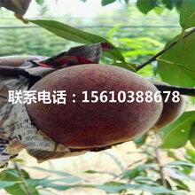 新品种秋红桃树苗多少钱