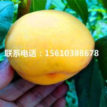 早熟桃树苗新品种、早熟桃树苗出售价格是多少