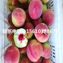 桃树小苗种植基地、桃树小苗供应商