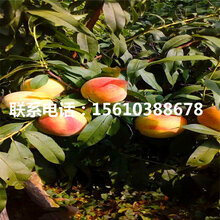 艳红桃树苗多少钱、艳红桃树苗多少钱