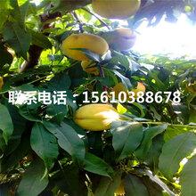 秋雪桃树苗供应批发、秋雪桃树苗出售多少钱