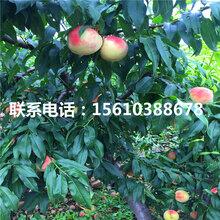 97桃树苗什么价格、97桃树苗多少钱一棵图片