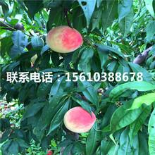 新品种金童6号桃树苗哪里价格便宜图片