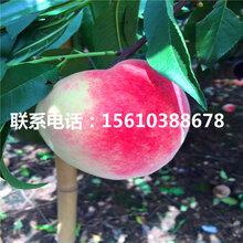 97桃树苗批发价位、97桃树苗图片
