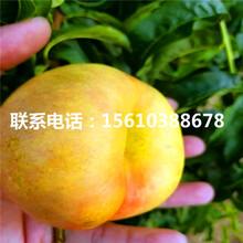春蜜桃树苗批发、春蜜桃树苗哪里价格便宜图片