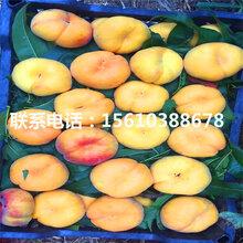 水蜜桃树苗供应价格、水蜜桃树苗价格哪里便宜