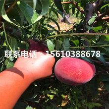 水蜜桃树苗批发价位、水蜜桃树苗出售价钱