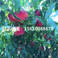 97桃树苗、97桃树苗批发单价