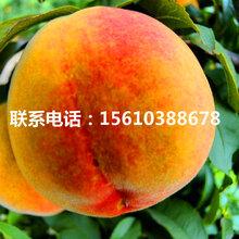 山东中蟠15号桃树苗出售价钱