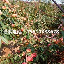 桃树苗图片、桃树苗哪里有图片