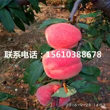 中油金冠桃树苗、中油金冠桃树苗供应商图片