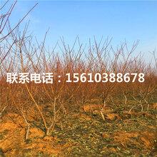 97桃树苗价位、97桃树苗附近哪里有