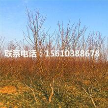 新品种永莲蜜桃5号桃树苗批发什么价格