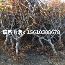 97桃树苗哪里有卖、97桃树苗出售供应