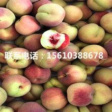 新品种永莲蜜桃6号桃树苗批发什么价格