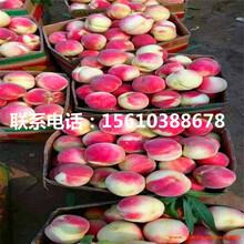 春艳桃树苗包邮价格、春艳桃树苗什么价格图片