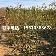 93桃树苗基地、93桃树苗什么品种好图片